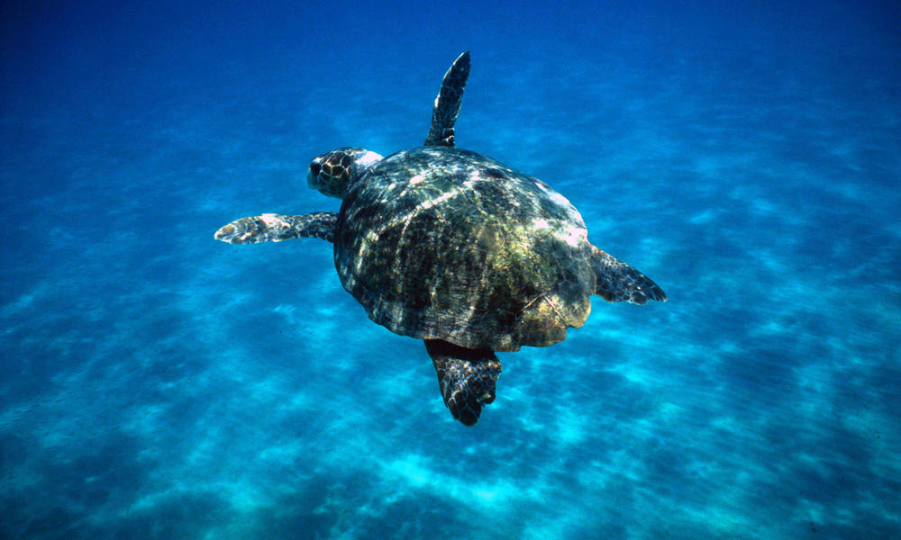 How long do sea turtles live? And other sea turtles facts | WWF