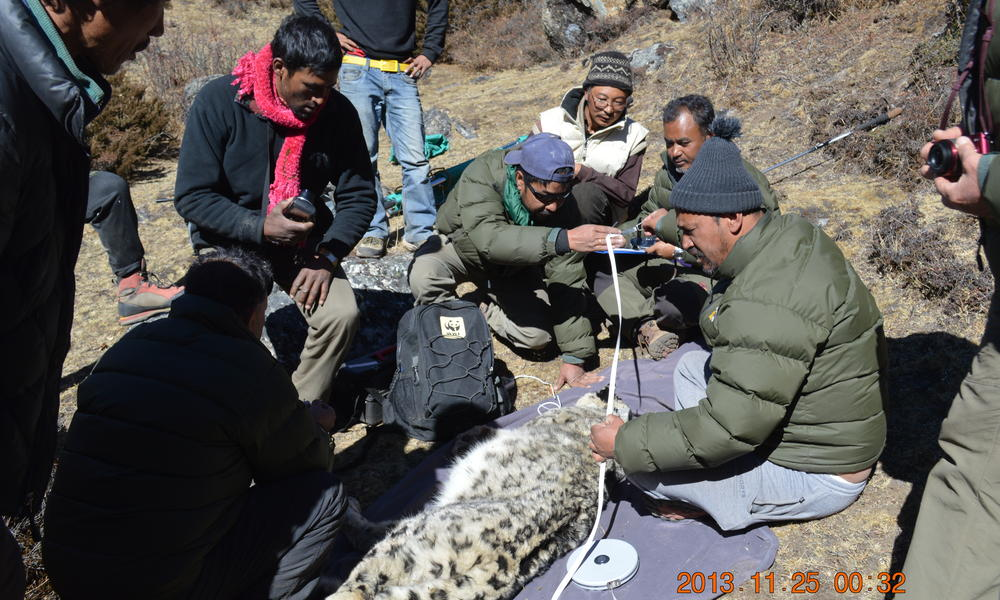 snow leopard collared in Nepal