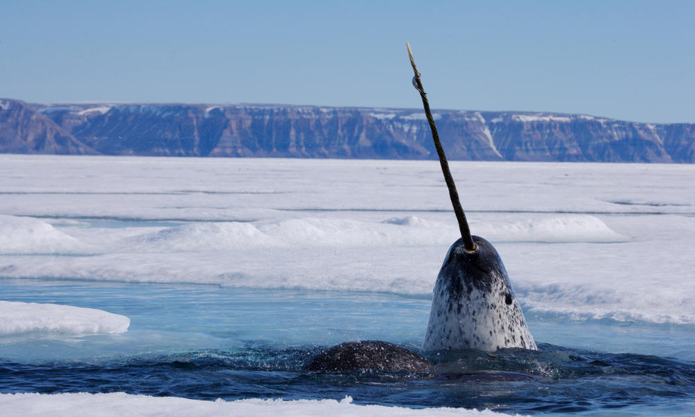 Unicorn of the Sea: Narwhal Facts | Stories | WWF