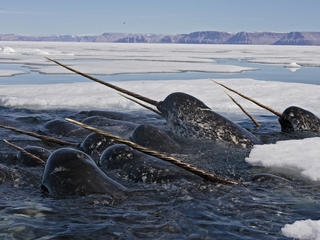 narwhal group