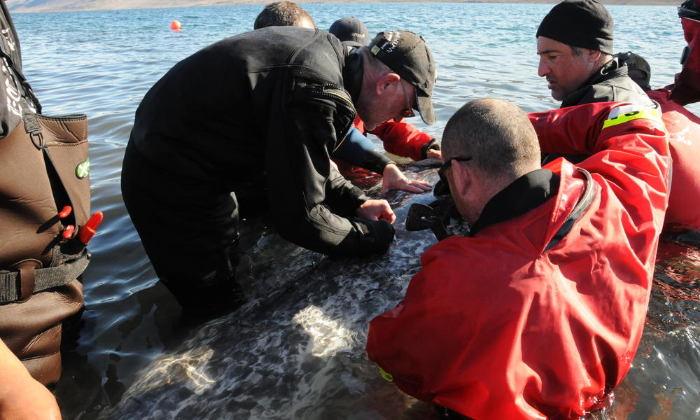 narwhal tagging