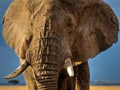 Swc elephant