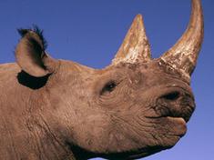 Swc rhino