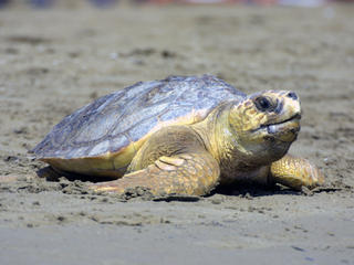 loggerhead on beach