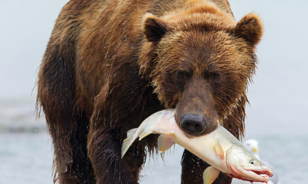 grizzly catches fish