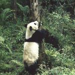 Panda at tree