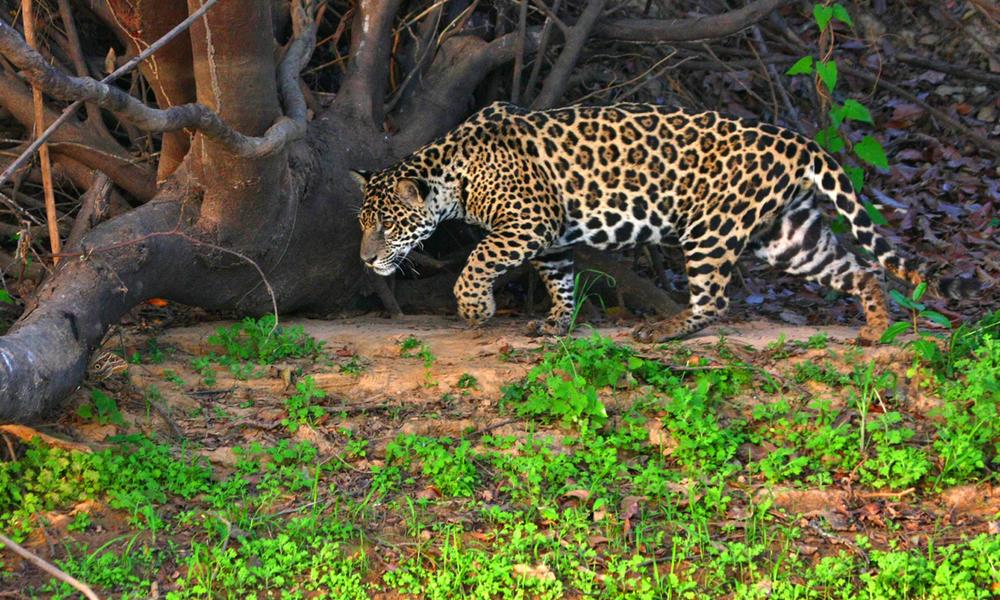 Jaguar brazil pantanal   cassiano zaparoli nha