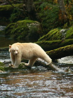 spirit bear British Columbia Canada TRAVEL ONLY