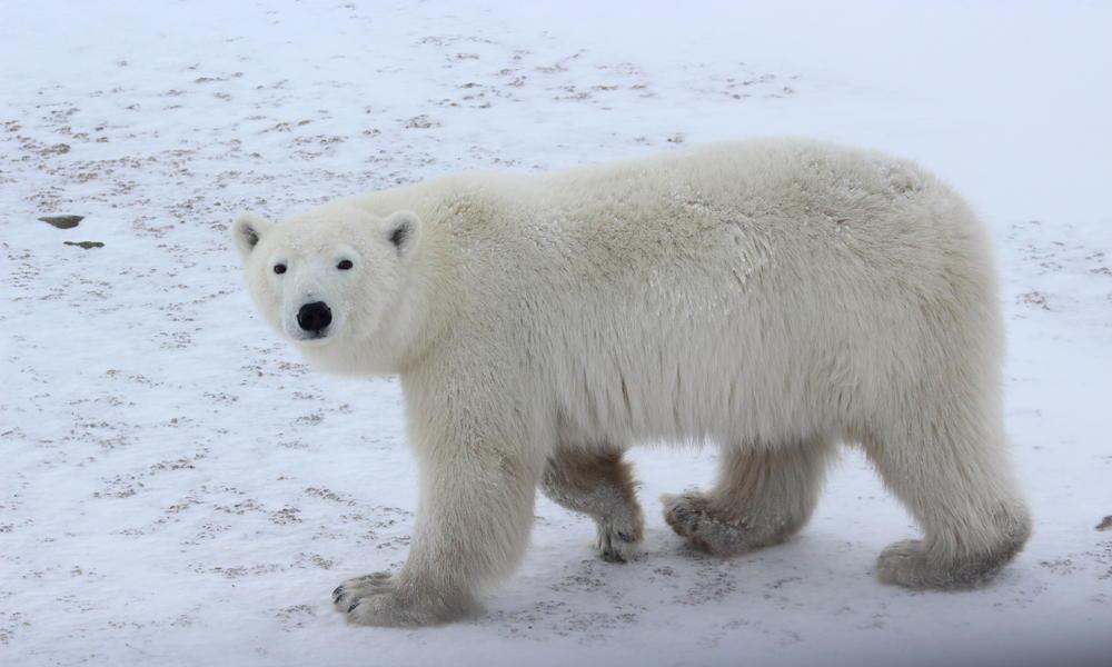 Churchill S Polar Bears