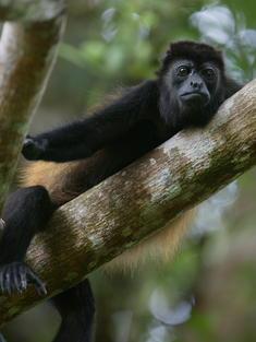 Costa Rica monkey TRAVEL ONLY