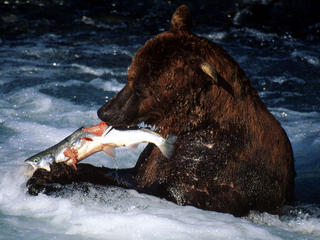brown bear eating salmon alaska