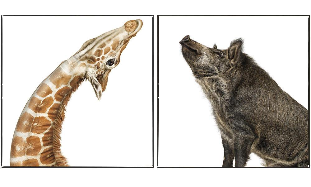 Giraffe, Common Warthog