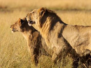 Mellisa scott lion pair