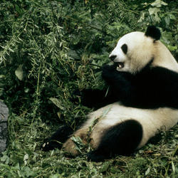 Help Giant Pandas by supporting WWF