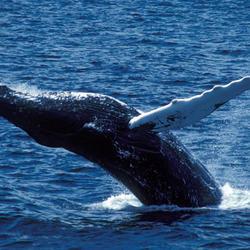 Humpback whale 07.24.2012 help