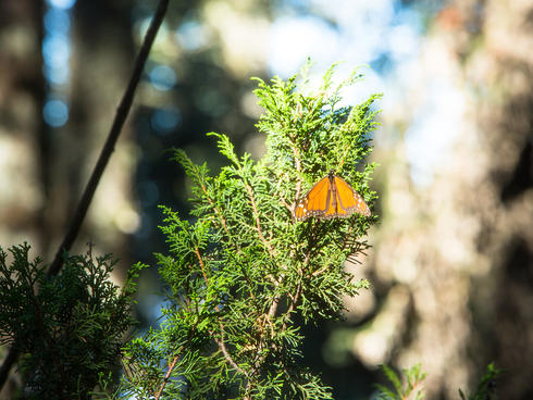 monarch on branch