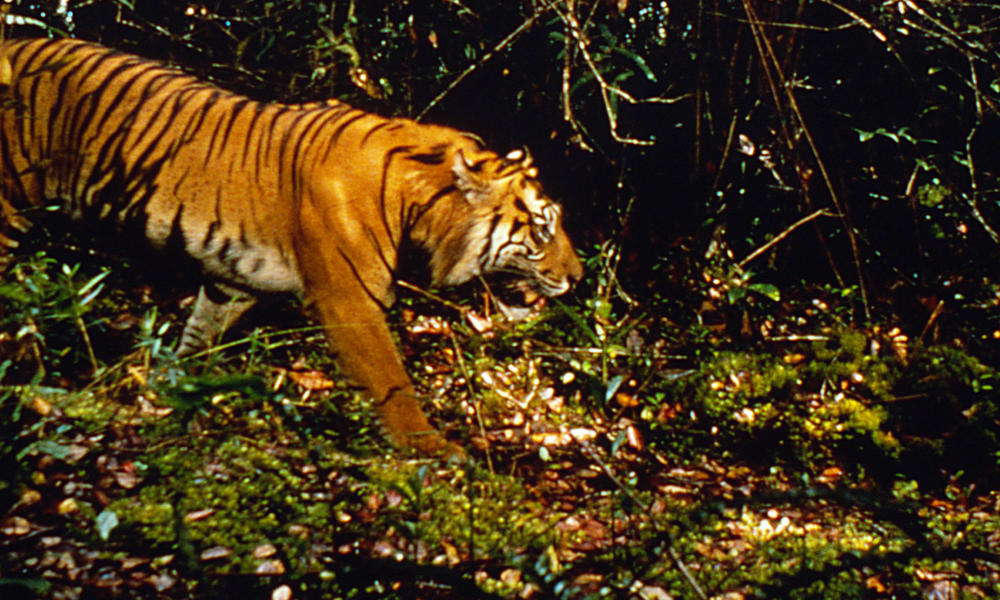 camera trap tiger