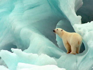 Polar bear in blue ice