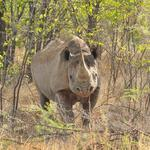 Black Rhino in the bush