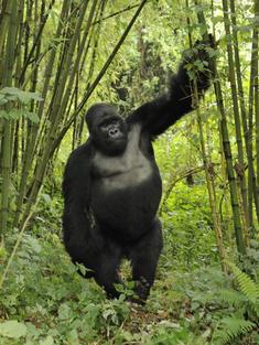 silverback mountain gorilla Volcanoes NP Rwanda