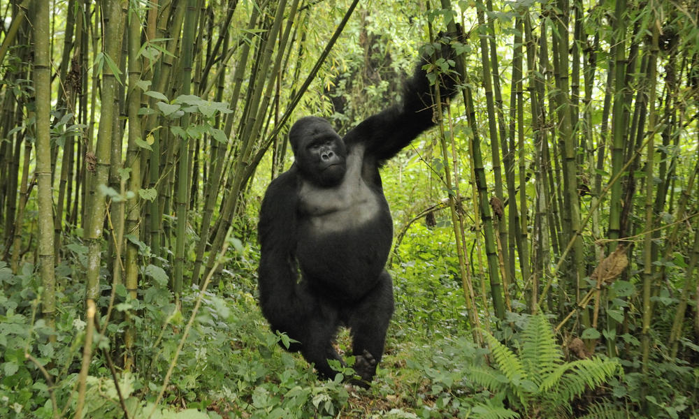 Silverback gorilla volcanoes np naturepl.com andy rouse wwf canon