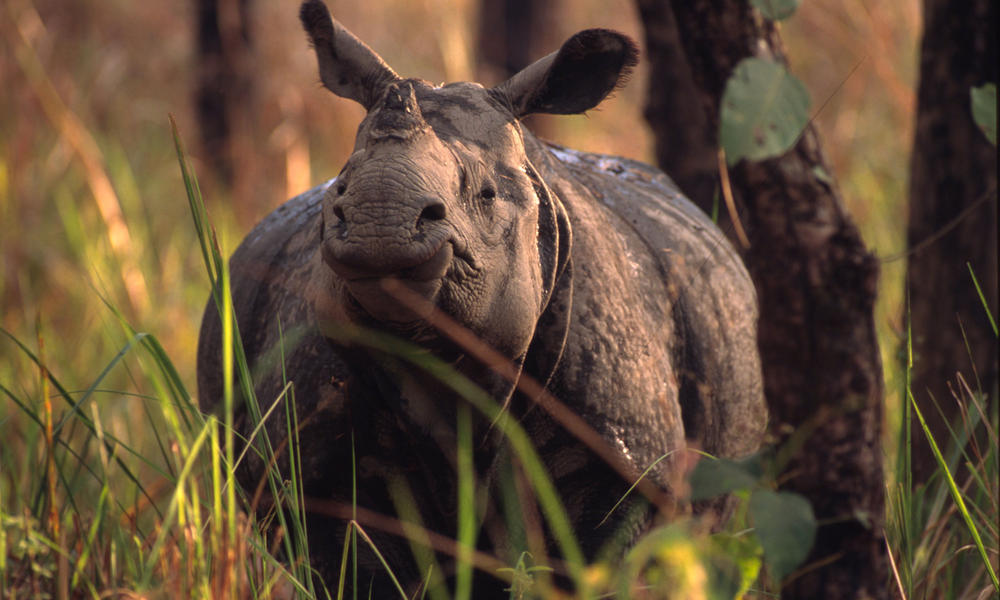An Indian rhinoceros in the Chitwan National Park.