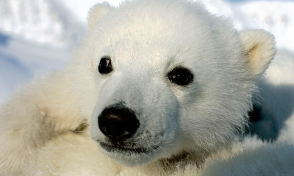 Polar Bear Cub Photos Wwf