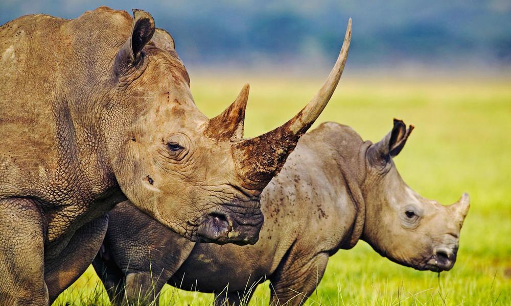rhinos in Kenya