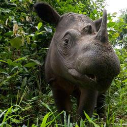 Sumatran rhino 07.24.2012 help