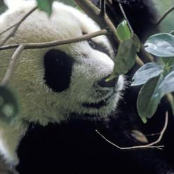Giant panda2 07.24.2012 help
