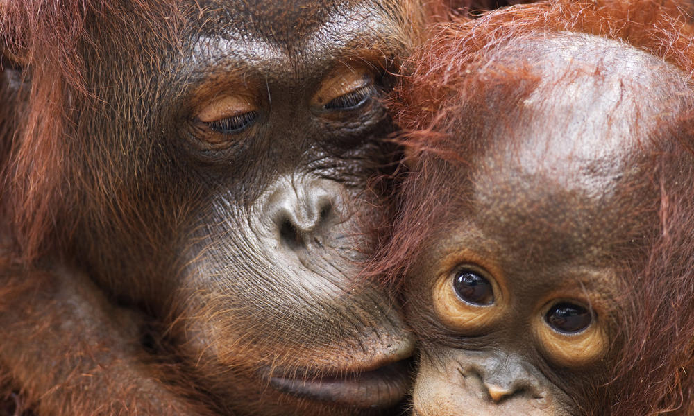orangutan with mother