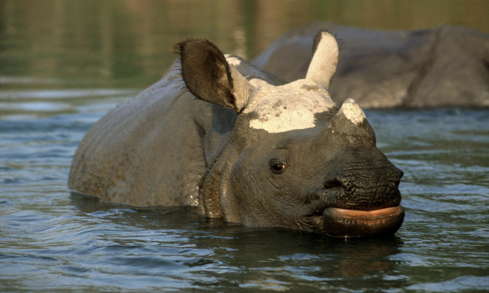 rhino in water