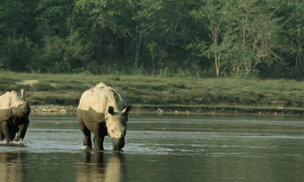 rhinos in water