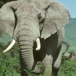 African elephant 07.24.2012 help