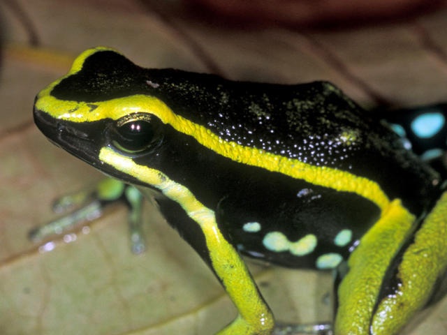 poison dart frog Amazon