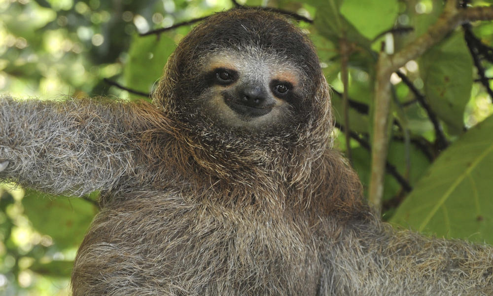 Sloth | Species | WWF