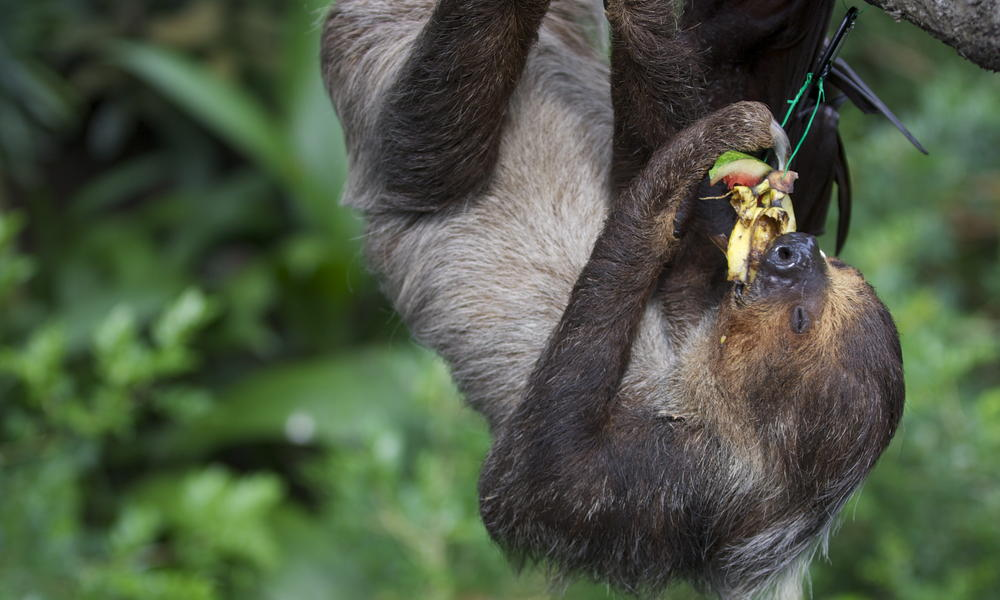 sloth eating