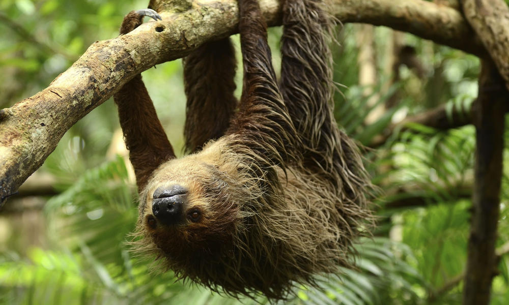 sloth species wwf