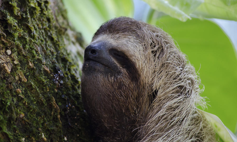 closeup of sloth