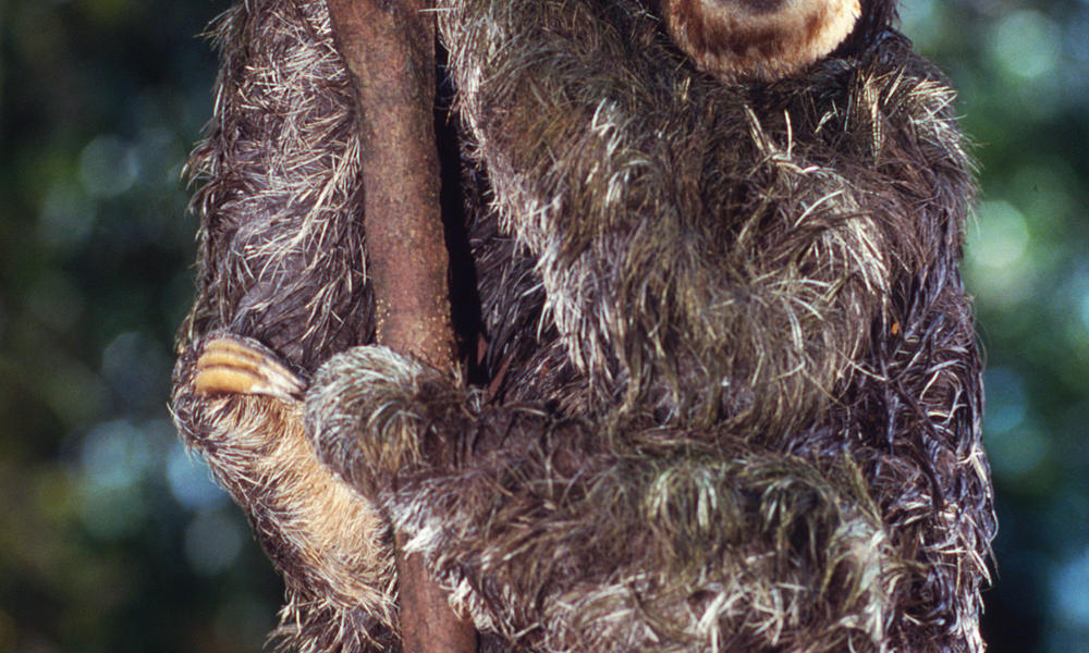 sloth on branch