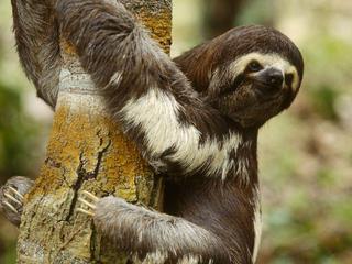 sloth hugging tree