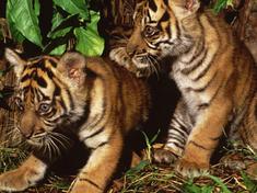 Sumatran tiger cubs 07.24.2012 help