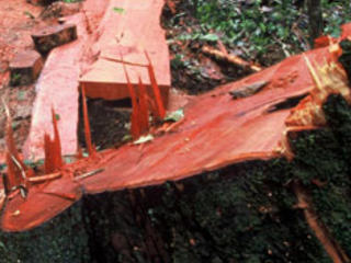 Illegal logging in the lowland rainforest