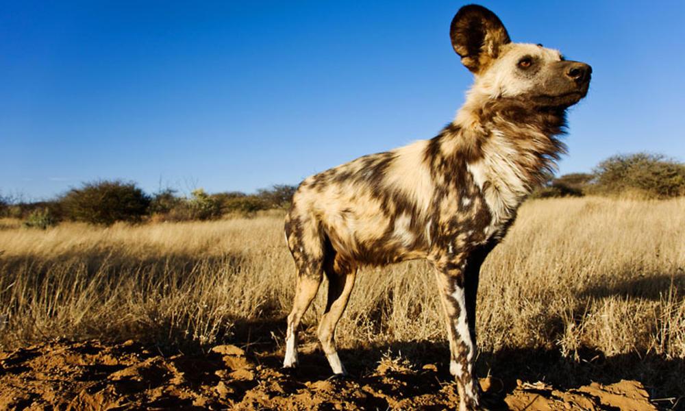 African wild dog, Sub-Saharan Africa