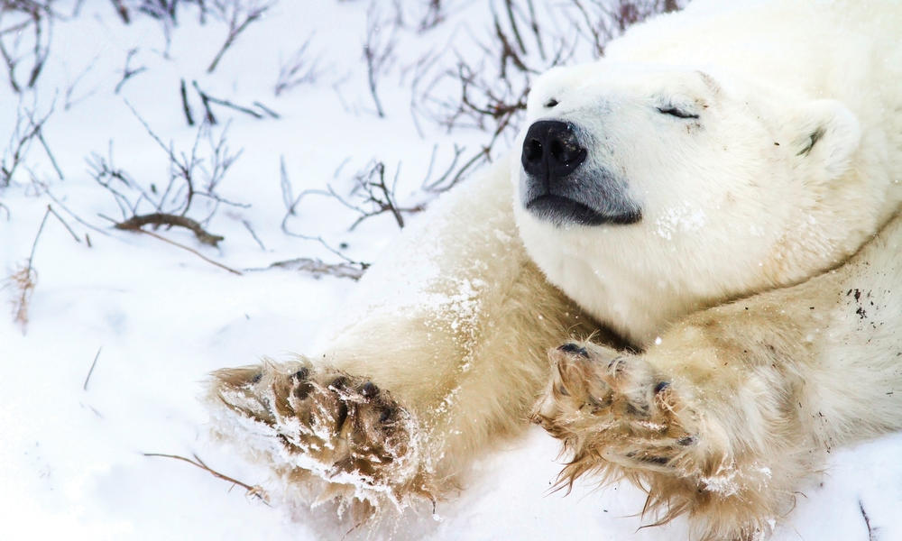 polar bear stretches