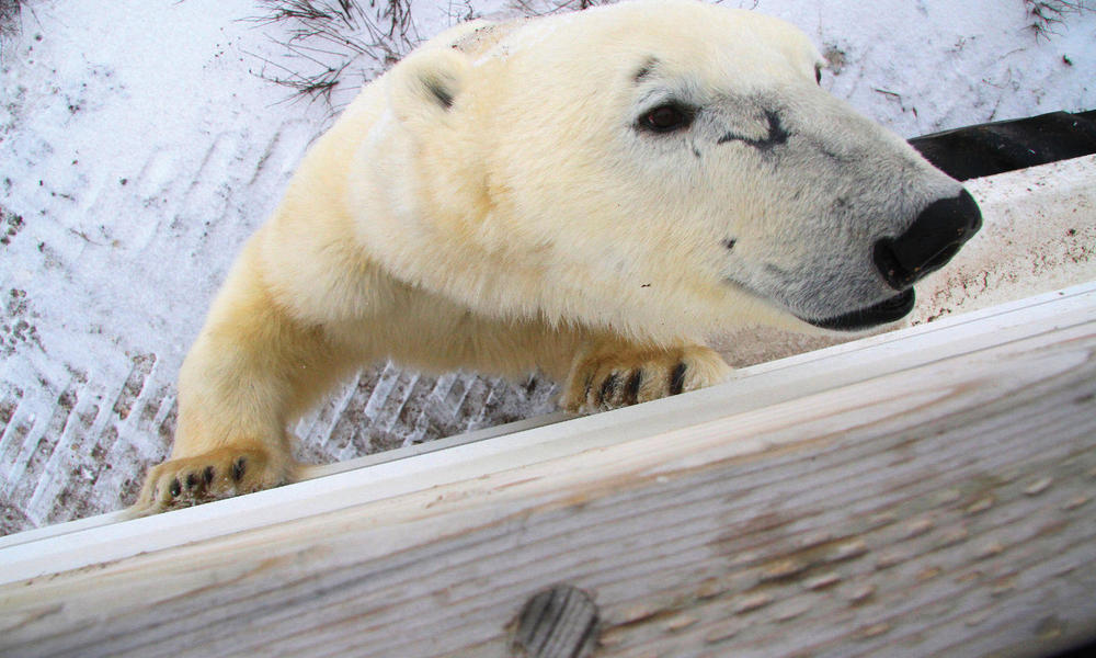 polar bear next to fence