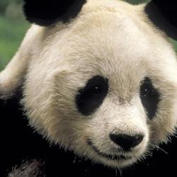 Giant panda3 07.24.2012 help
