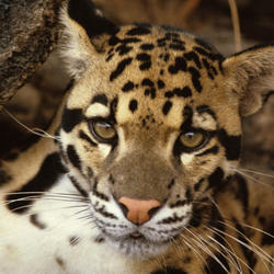 Clouded leopard 07.24.2012 help