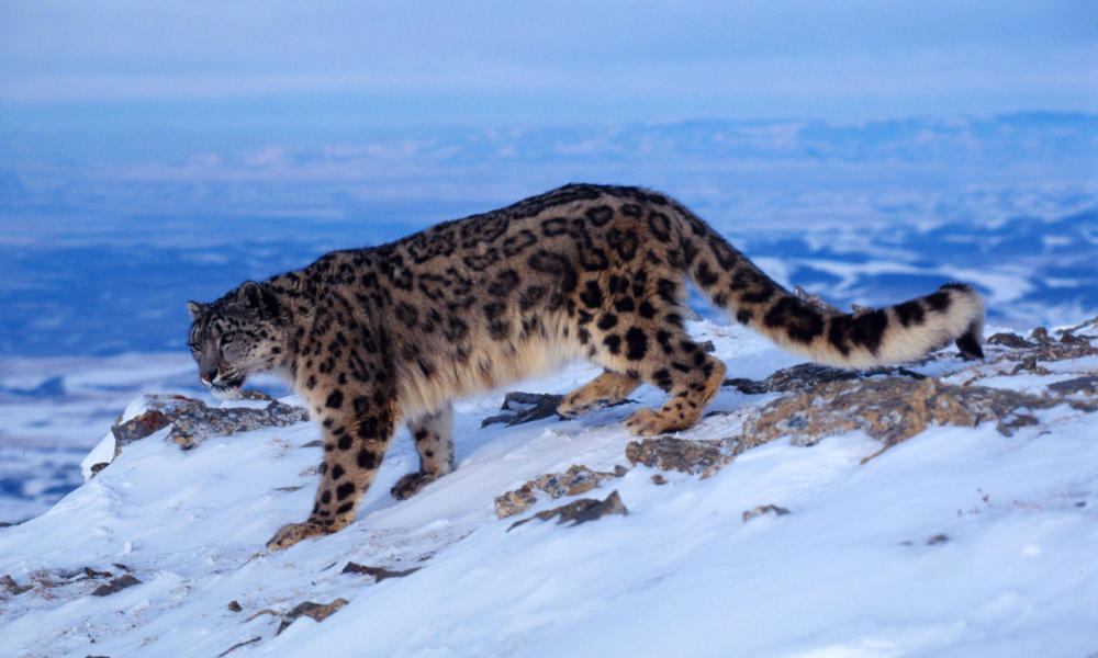 Snow Leopard Circle image MID 54145