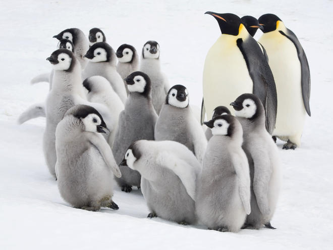 Curious Emperor penguin chicks with adults in the Snow Hill Island colony